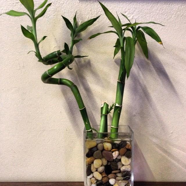 Todo sobre el bambú de la suerte