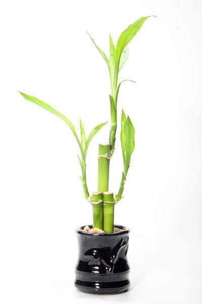 Todo sobre el bambú de la suerte - lucky bamboo