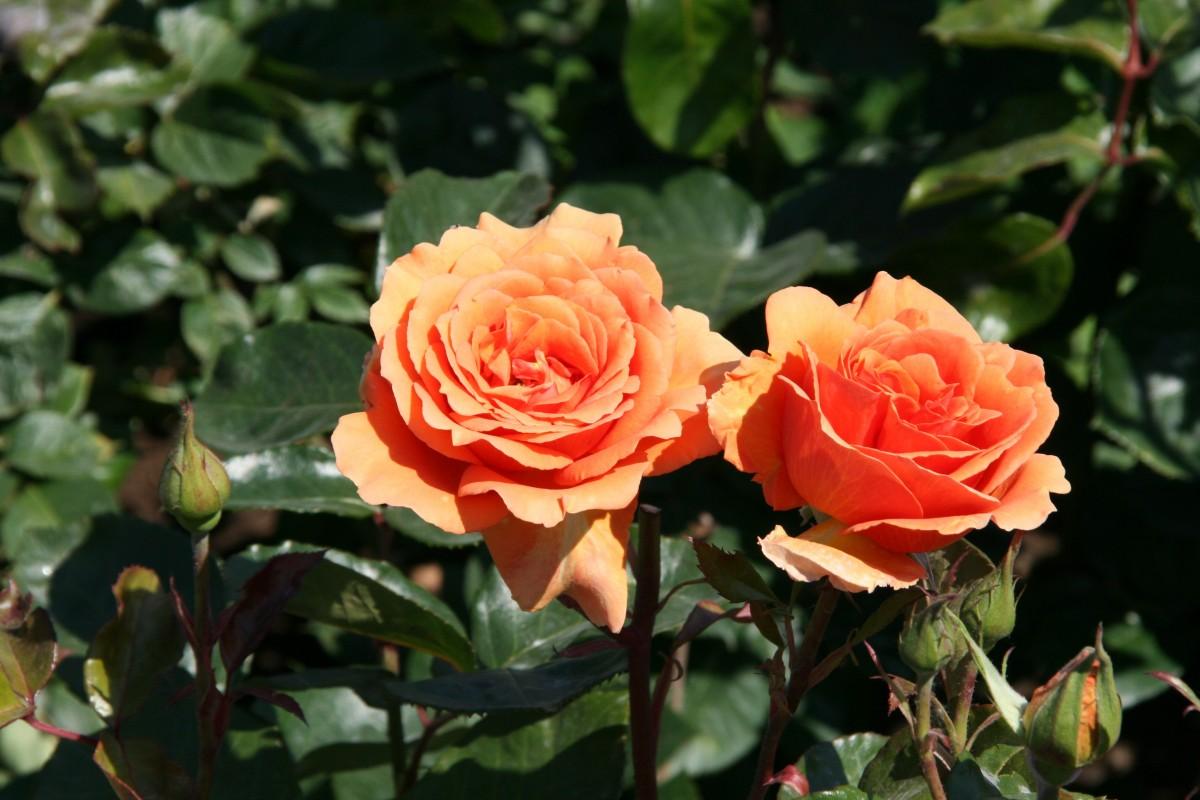 Cómo cuidar un rosal