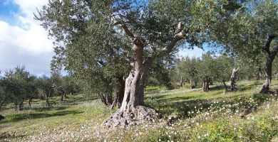 Cómo cuidar un olivo