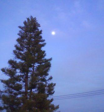 Cómo cuidar un pino
