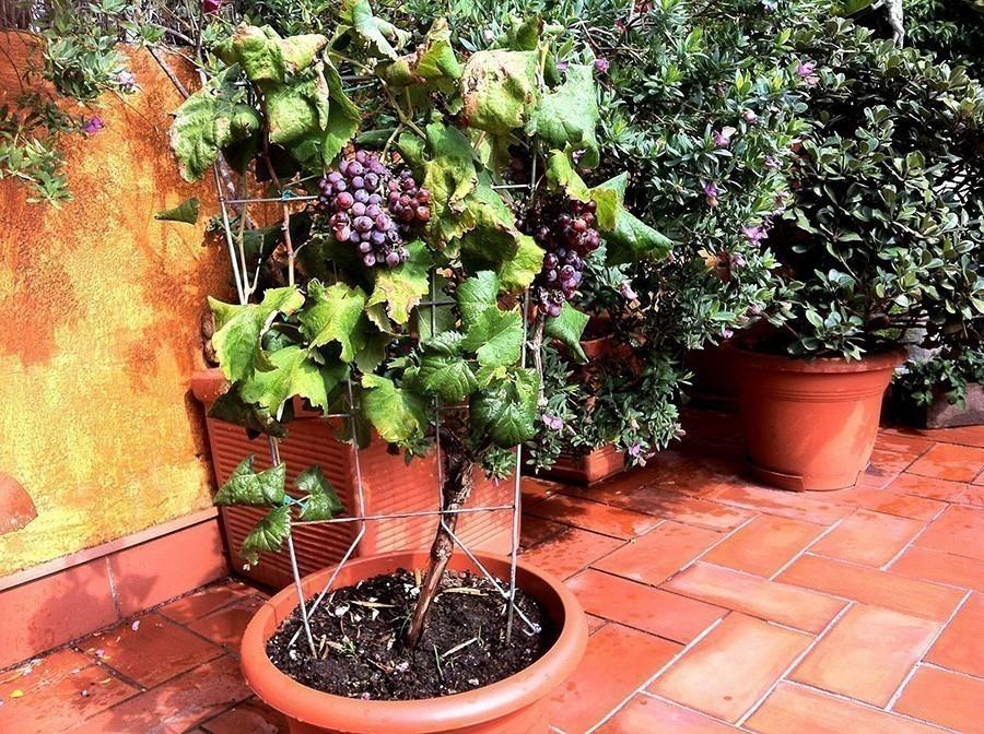 Planta uva