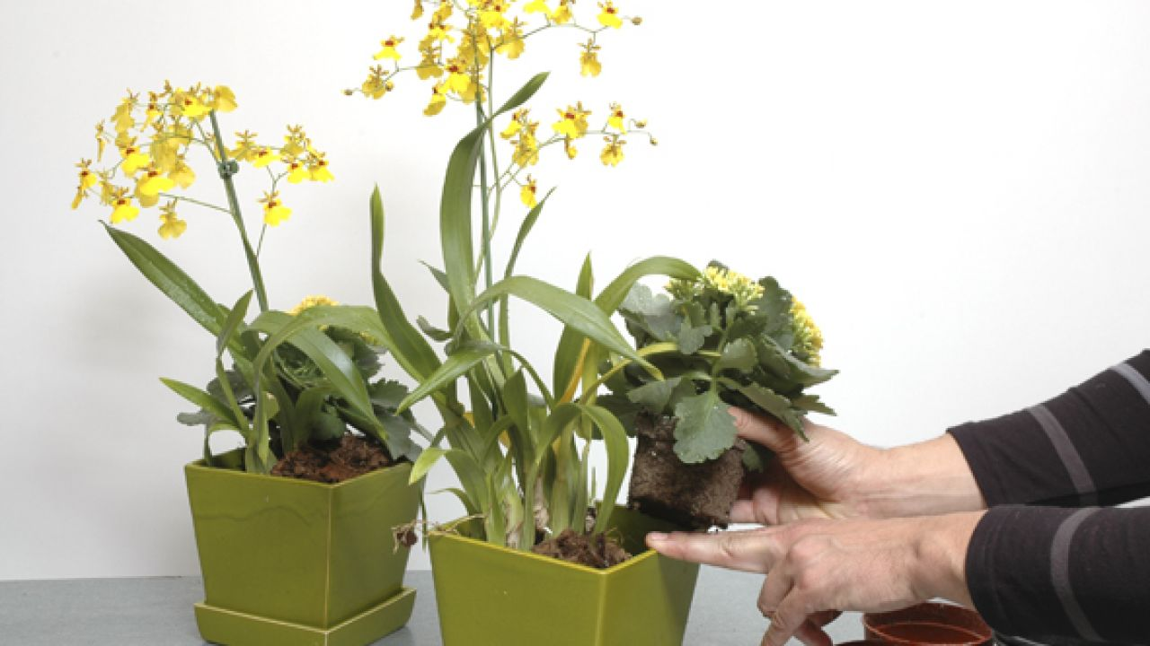 cuidado orquídeas