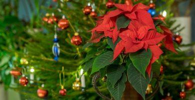 Las mejores plantas para decorar en Navidad - poinsetia o flor de Pascua