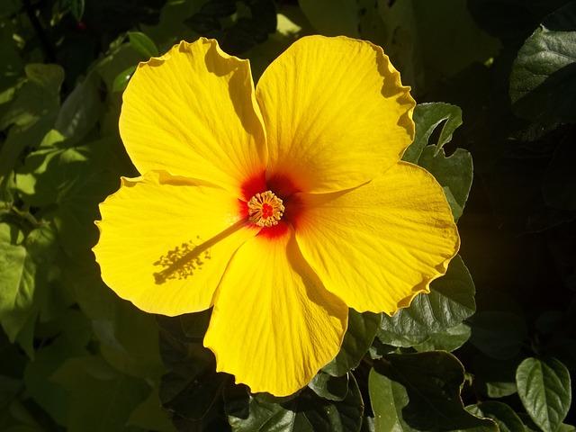 hibiscus amarilla flor