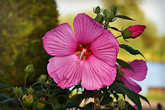 hibiscus rosa planta