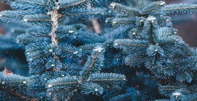 abeto azul