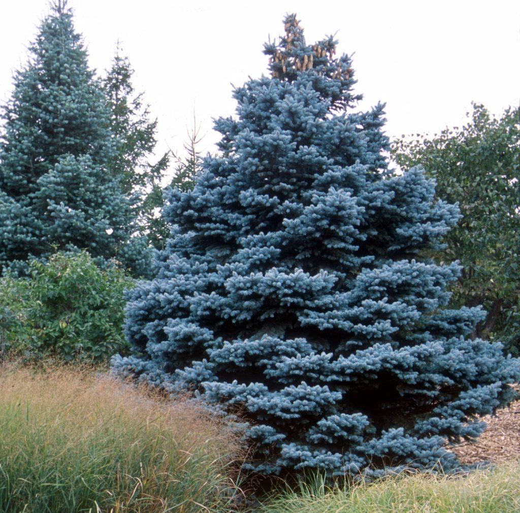 bosque abeto azul