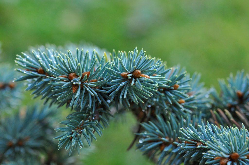 rama de abeto azul