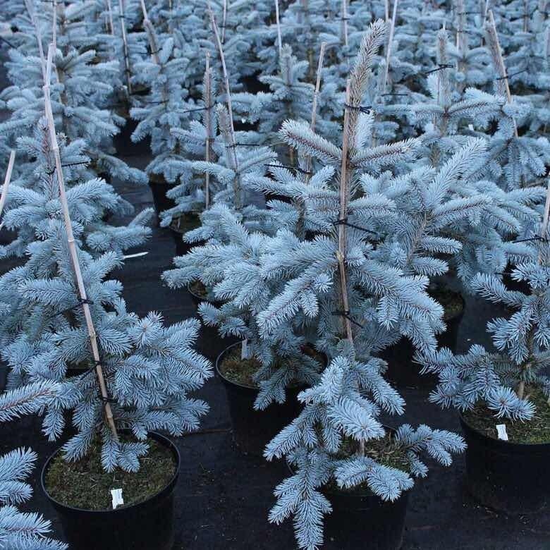 abeto azul bonsai