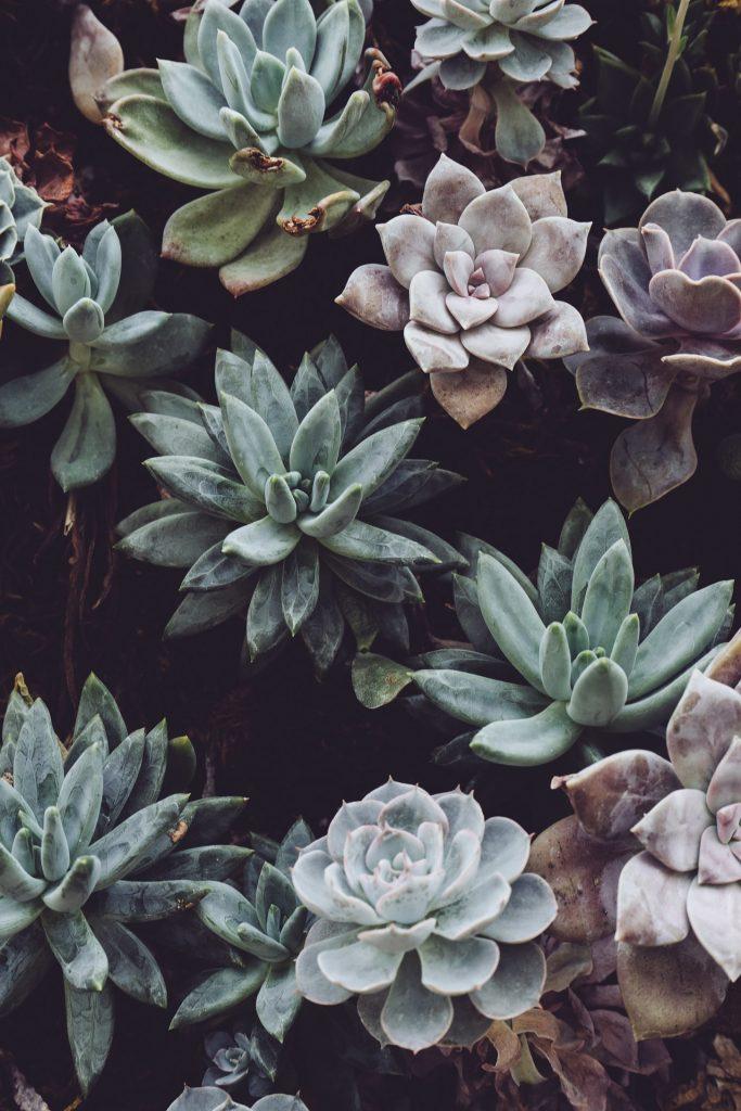 suculenta planta