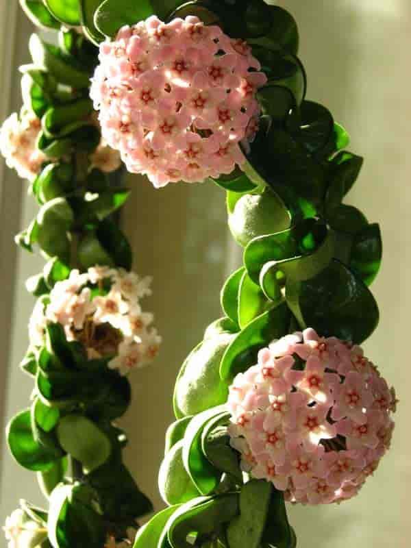 planta exterior hoya carnosa flor